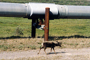 Caribou walking alongside the Trans-Alaska Pipeline.