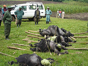 4 dead gorillas laid out on the ground