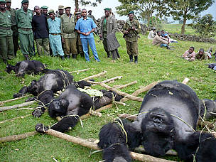4 dead gorillas laid out on the ground / &copy;: Altor IGCP Goma