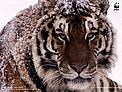 Amur or Siberian tiger (Panthera tigris altaica) / &copy;: Kevin Schafer / WWF-Canon
