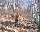 The photos provide evidence of the extension of the Amur tigers range from Hunchun, located close to the Russian border, into the inner Changbai mountain area