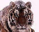 Amur tiger (&lt;I&gt;Panthera tigris altaica&lt;/I&gt;).