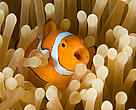 The baby Nemo of film fame would not be able to find the way home in a carbonated ocean, a study found
