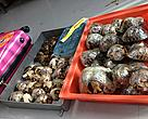 The Malagasy Ploughshare tortoises seized in Bangkok in March 2013.
