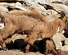 The Arabian Tahr (Arabitragus jayakari) is endangered, with fewer than 2,500 adults in the wild.