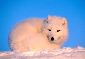 Arctic fox (&lt;i&gt;Alopex lagopus&lt;/i&gt;) / &copy;: Staffan Widstrand