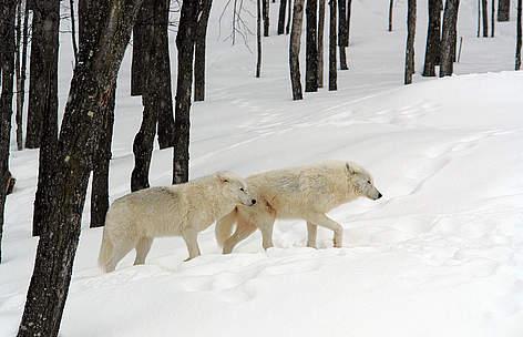 Arctic wolves canis lupus arctos montebello quebec canada