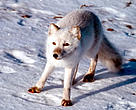 The endangered Arctic fox (<i>Alopex lagopus</i>) — only 120 remain in Scandanavia, with some 50 left in Norway.
