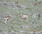 Argali sheep