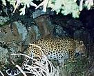 Armenia: Persian leopard. 9 March 2005, 01.45am. Authors: A Malkhasyan, I. Khorozyan, M Boyajyan. Financial support: Aalborg Zoo, PTES, WWF