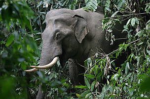 Asian Elephant