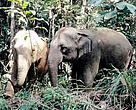 The Eastern Plains Landscape of Cambodia is home to many endangered species, including the Asian elephant, as well as banteng, gaur, and Eld's deer.