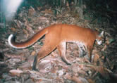 Asiatic golden cat / &copy;: WWF