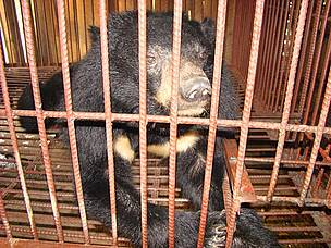 在寮國龍坡邦熊隻養殖場的亞洲黑熊。圖片來自: A. Oswell/TRAFFIC。