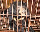 Asiatic Black Bear on a bear farm in Luang Prabang, Lao PDR