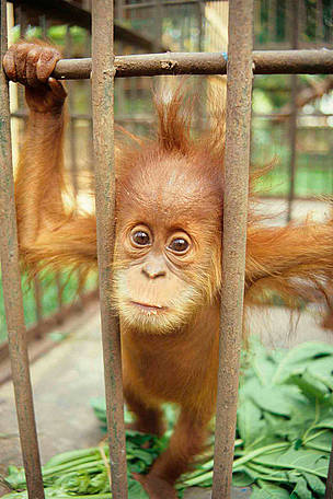 Captive baby Sumatran Orang-utan (Pongo abelii). / &copy;: TRAFFIC SE Asia/Chris R. Shepherd