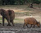 Elephants, buffaloes and other species meet in Dzanga-Ba, a unique forest clearing and source of water and minerals for wildlife in Central Africa.