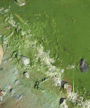 Exposure to an algal bloom can lead to nausea, irritated skin and eyes, gastrointestinal problems ... / &copy;: WWF / Paivi Rosqvist
