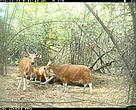 Group of banteng photographed by camera-trap in 2010 in Mondulkiri Protected Forest.