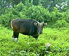 Banteng were once widespread in Borneo but now they are confined to isolated forest reserves in Sabah and on the Sabah/Kalimantan border