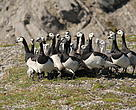 Barnacle geese and nestlings, Arctic Russia.