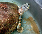 mangrove terrapin (&lt;i&gt;Batagur baska&lt;/i&gt;)