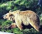 Bear populations were once found in healthy numbers throughout Switzerland, but years of persecution led to their extinction. The last bear in Switzerland was killed in 1904 in the eastern alpine valley of S-charl.