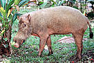 Borneo bearded pig (&lt;i&gt;Sus barbatus&lt;/i&gt;). / &copy;: WWF-Canon / Alain COMPOST
