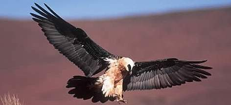 Bearded Vulture. rel=