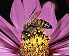 "Pollination ""services"" of adjacent tropical forests contribute to the income of coffee farms."