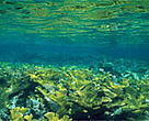 Elkhorn coral (&lt;I&gt;Cropora palmata&lt;/I&gt;), Hol Chan Marine Reserve, Belize.