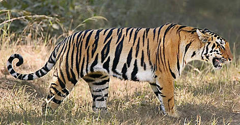 Indian tiger (<i>Panthera tigris tigris</i>). rel=