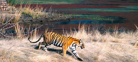 Female Bengal tiger in the Ranthambore National Park, Rajasthan, India. rel=