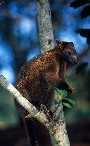 Bennett's tree-kangaroo (Dendrolagus bennettianus) on the branch of a tree. The Bennett's ... / &copy;: Martin HARVEY / WWF-Canon