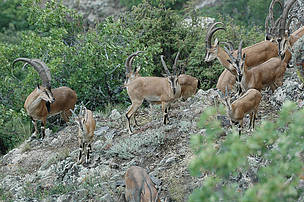 Group of Bezoar goats in the planned Gnishik Protected Area