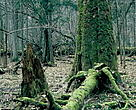 Bialowieza primary forest.