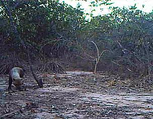 Bush dog seen in camera trap footage made in the Veredas do Peruau State Park (MG)  / &copy;: WWF-Brasil / Instituto Biotrpicos