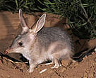 WWF estimates there are over 54,000 species of plants and animals facing the threat of extinction in Australia, including the greater bilby.