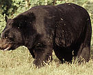 Asiatic black bear (&lt;i&gt;Ursus thibetanus&lt;/i&gt;), India.