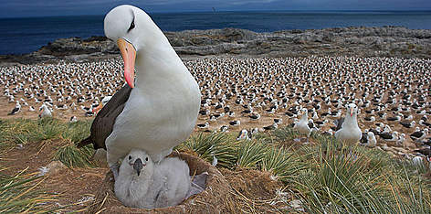 wwf albatross