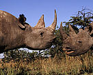 Black rhinoceros (<i>Diceros bicornis</i>) - Two males fighting.