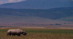 Black rhino in the Ngorongoro Crater section of the Ngorongoro Conservation Area, Tanzania  / ©: WWF-Canon / John E. NEWBY