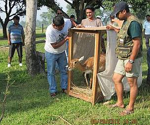 Blackbuck being released at Hirapur Phanta  Shuklaphata Wildlife Reserve