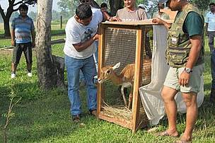Blackbuck being released at Hirapur Phanta – Shuklaphata Wildlife Reserve