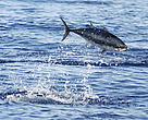 Atlantic bluefin tuna (<i>Thunnus thynnus</i>) feeding in the Mediterranean Sea.