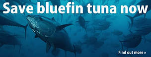 Wild bluefin tuna swimming in the Mediterranean