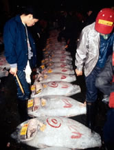 Bluefin and Yellowfin tuna being processed for sale at the Tokyo fishmarket, Japan.