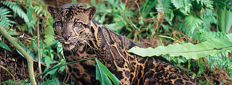 Clouded leopard in forest setting rel=