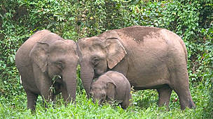 Bornean Pygmy elephant (Elephas maximus borneensis) family, parents with calf. Danum Valley ... / &copy;: WWF-Canon / A. Christy WILLIAMS