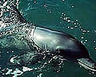 Bottle-nosed dolphin (<I>Tursiops truncatus</I>).